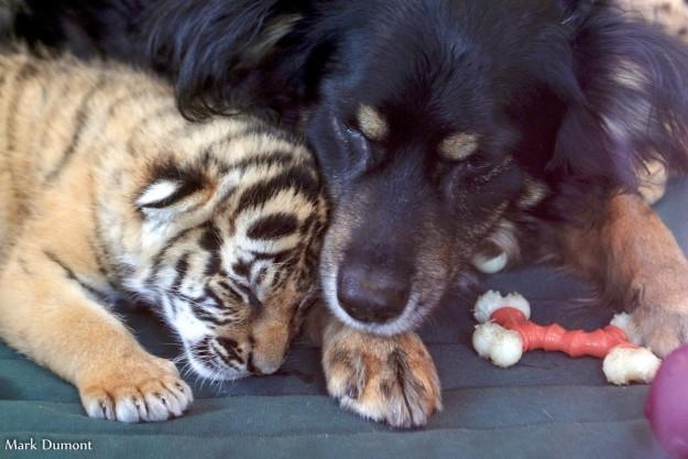 """Gặp gỡ chú chó đáng yêu được mệnh danh là """"người cha quốc dân"""" ở làng động vật Cincinnati (Mỹ)"""
