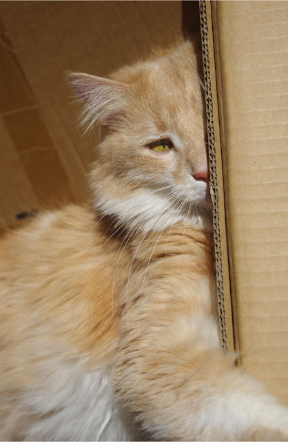 Fluffy cat hiding in a box - cardboard boxes are important enrichment for cats since they provide hiding spaces