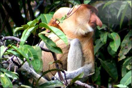 Bako Proboscis Monkey