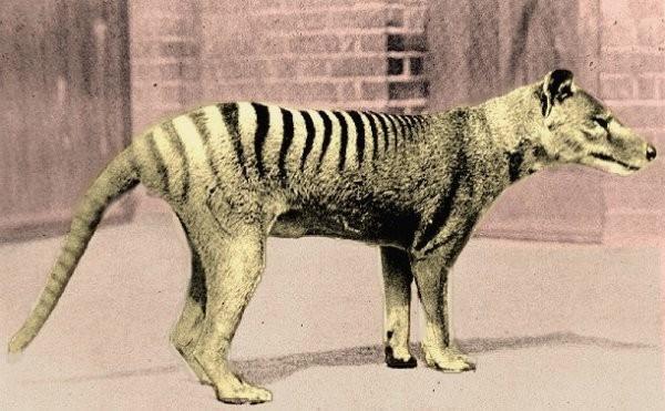 shukernature the new guinea thylacine crying wolf in irian jaya