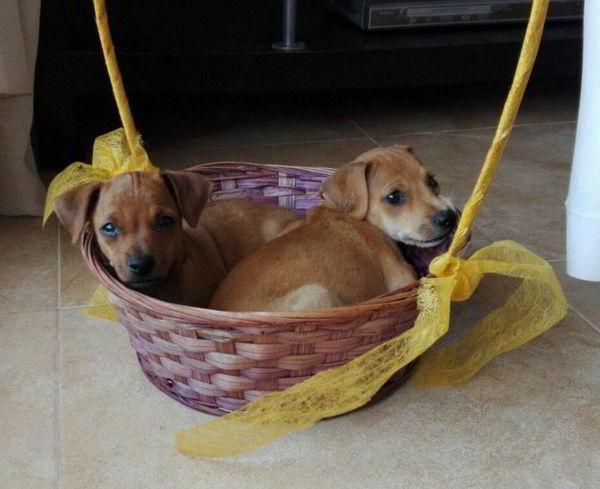 cachorros cruce chihuahua