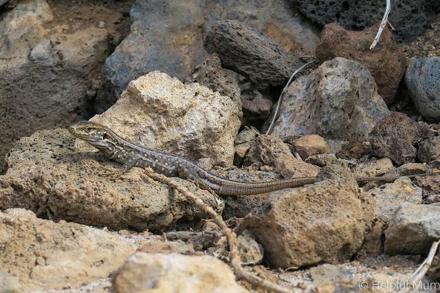 lizard tenerife