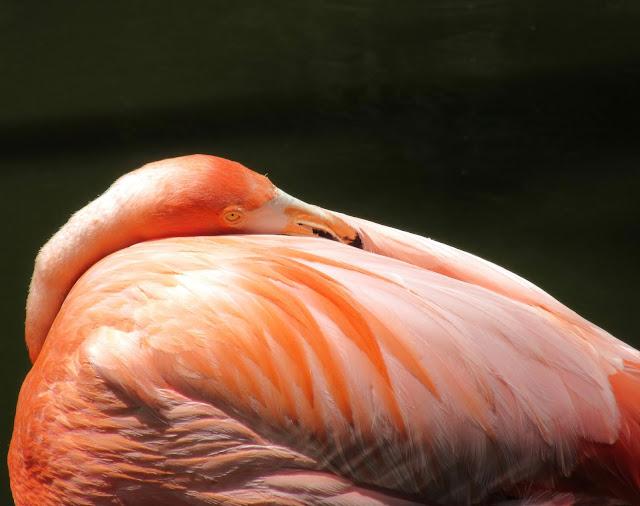 Flamingo sleeping at Flamingo Gardewns