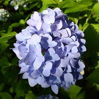 山田池公園のあじさい園 淡い紫色 あじさい