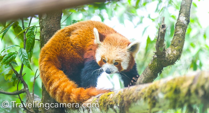 Above is my lucky shot of Red Panda at Darjeeling Zoo. This Panda got up for few seconds and slept again. Nobody at that point could click the face of this Red Panda. You can find them sleeping most of the times.
