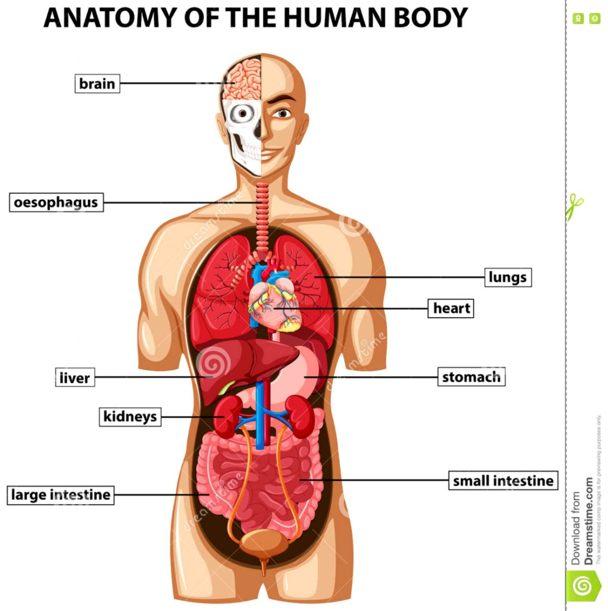 Human Anatomy Organs Wallpapers User