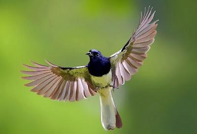 Cara Akurat Dan Ampuh Merawat Burung Kacer Mbagong