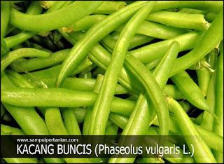 Syarat Tumbuh Tanaman KACANG BUNCIS (Phaseolus vulgaris L.)