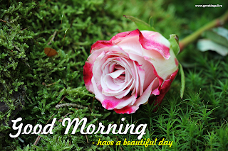 good morning message with rose flower and grass