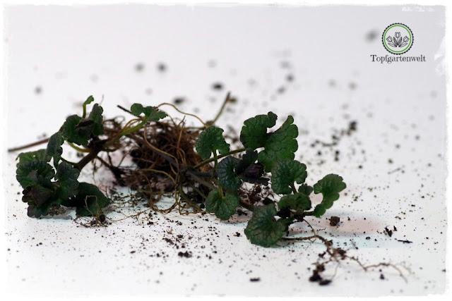 Gartenblog Topfgartenwelt Wird das was oder kann das weg? - Günsel
