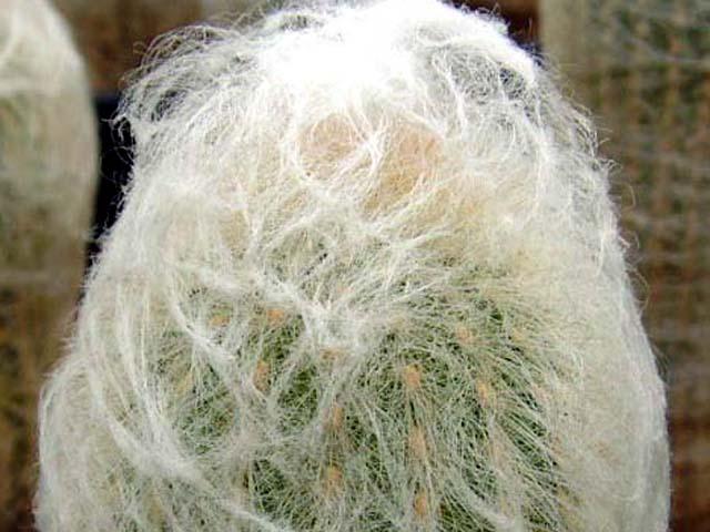 De tanto ser coletado, é pouco encontrado na natureza, mas bastante cultivado para fins decorativos.   Cephalocereus senilis é um cacto de origem mexicana. É de cultivo muito fácil . Necessita de muita luz solar, é ela que estimula o crescimento dos cabelos. Precisa de pouquíssima água.