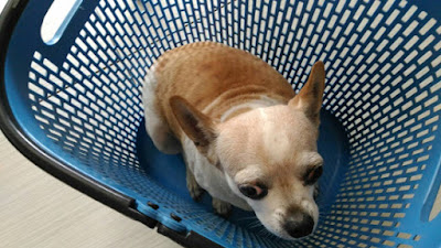 小型犬心臟病初期症狀不明顯,找信任的動物醫院掌握治療黃金時間十分重要。
