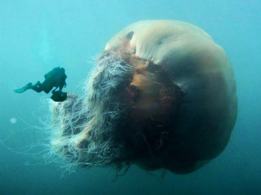 Meduse giganti presto sulle spiagge italiane? Nell'Adriatico la super-medusa tornata dal passato.