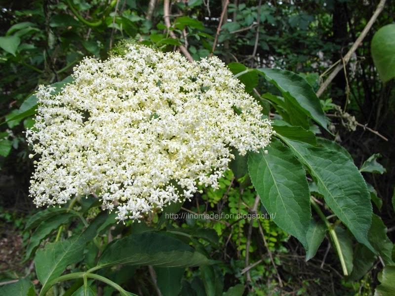 http://ilnomedeifiori.blogspot.it/2014/05/fiori-bianchi-di-sambuco.html