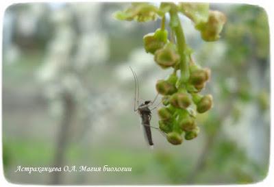 фенофазы, наблюдения весны, смородина цветет, комар на цветах