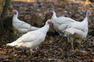 Beltsville Small White Turkey Chicken