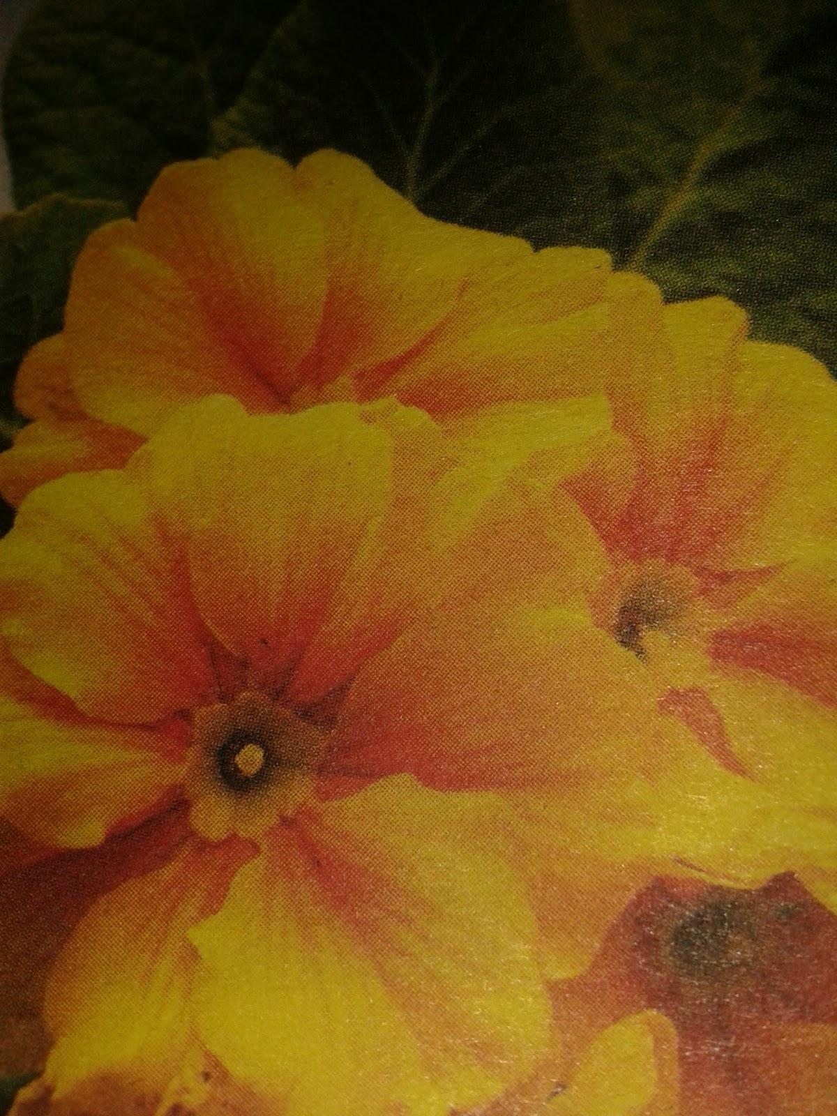 Yapraklar neden biber fidelerinde sarıya döner