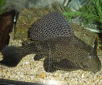 Ikan Sapu - sapu, naik pamor dari jenis Hias