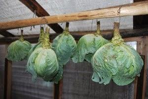 Уборка капусты на хранение. Сроки уборки капусты