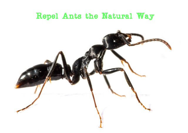 Repel ants the naturay way