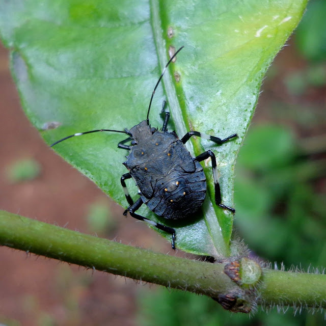 brown marmorated stink bug bangalore india