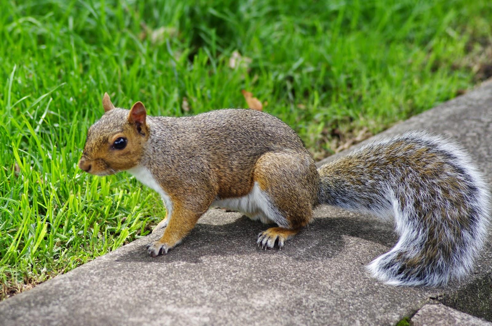 robbies tierbilder eichh rnchen squirrels. Black Bedroom Furniture Sets. Home Design Ideas