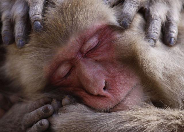 Một chú khỉ tuyết Nhật Bản đang thư giãn trong suối nước nóng. AmyPrint