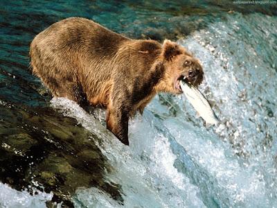 bears normal resolution hd desktop background wallpaper 7