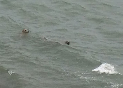 Ireland, seals, Dublin Bay, photo
