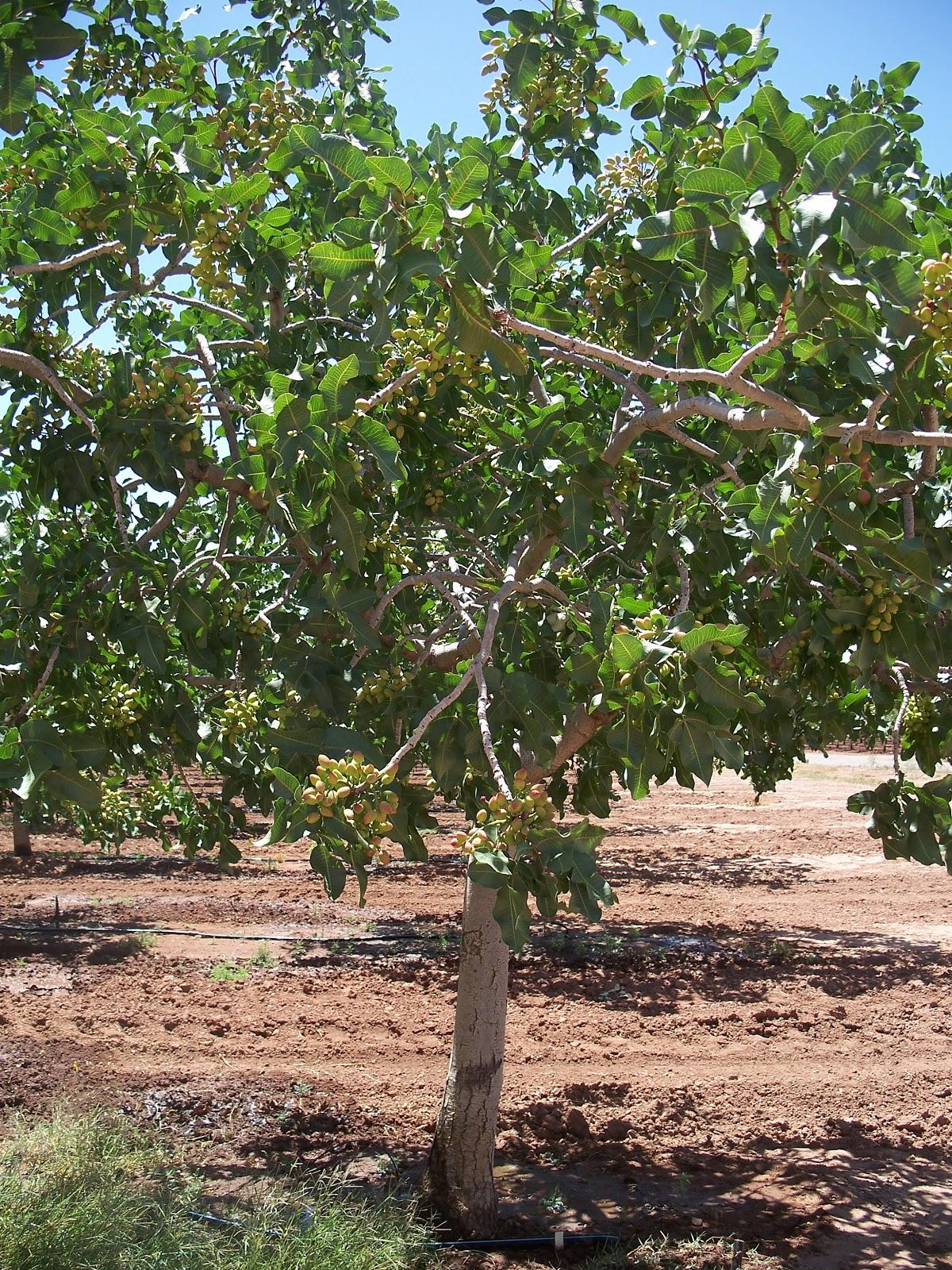 Growing Pistachios: The Road: Eagle Ranch Pistachio Groves