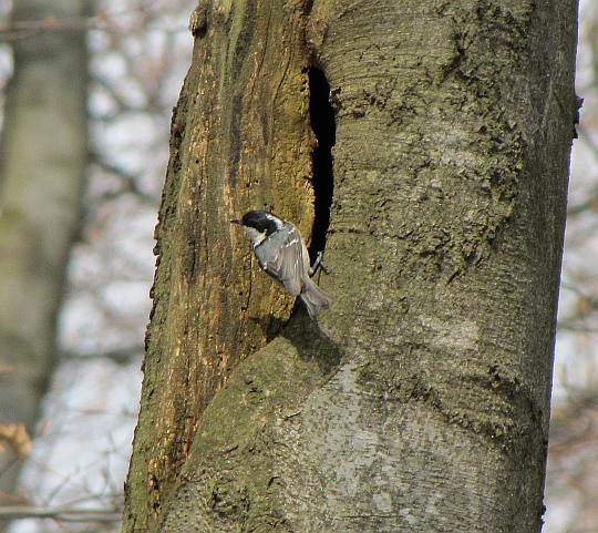 Jedna z sikor zamieszkująca Magurski Park Narodowy: sikora czarnogłówka (Poecile montanus) lub sikora uboga (Poecile palustris).