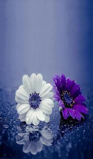 flores-blanca-y-morada-sobre-un-cristal-con-gotas-de-agua