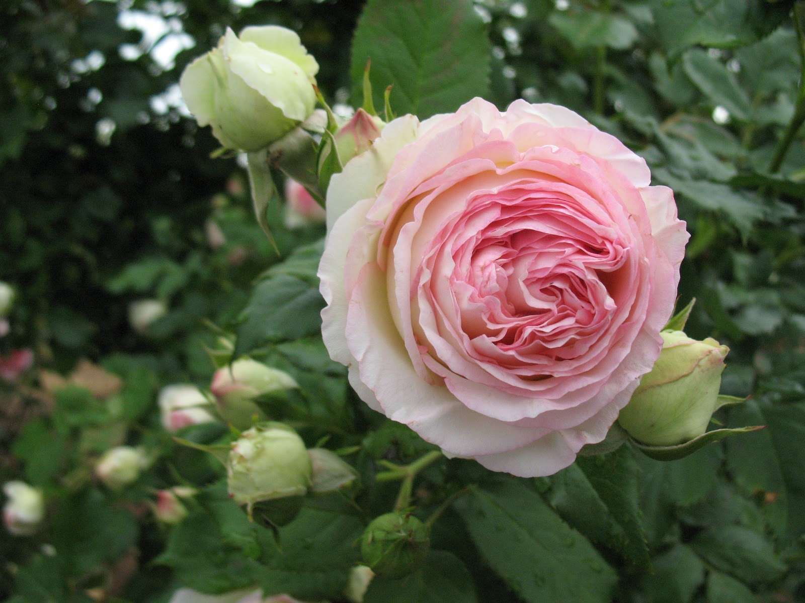"roses du jardin chêneland: rosier ""pierre de ronsard"""