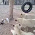 Valiente Perrito Se Enfrenta A Leones Por Comida Y Esto Pasó