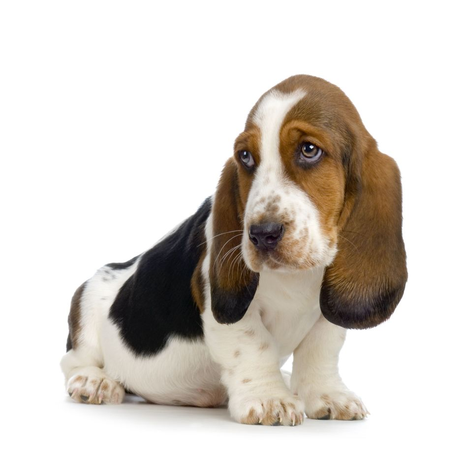 Cute Dogs: Cute Basset hound dog