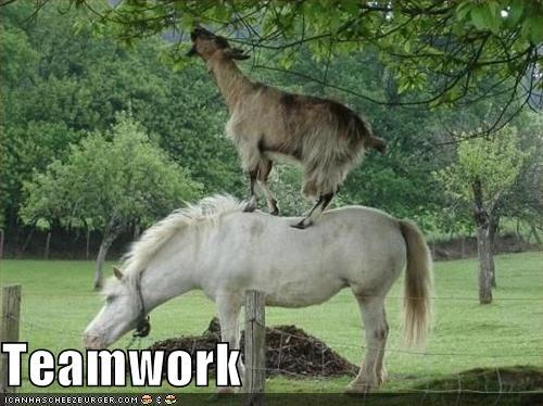 goat + horse team
