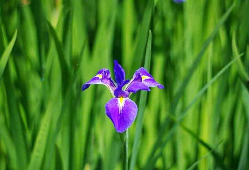 flowers,Iris,blooming