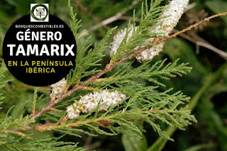 El género Tamarix. Son arbustos o pequeños arboles perennifolios, caducifolios o semicaducifolios