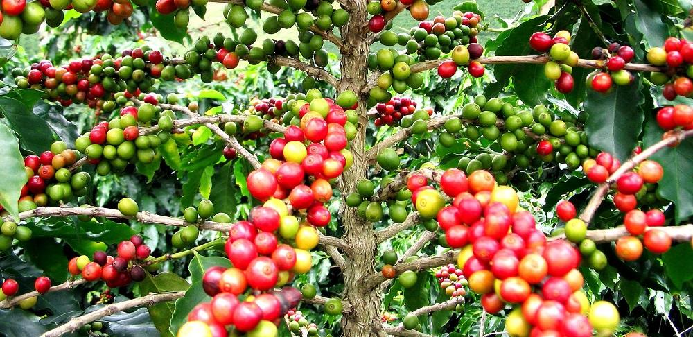 Culture du Café au Cameroun