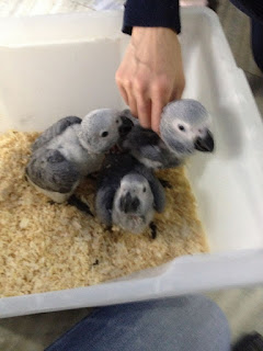 parrot for sale African Grey