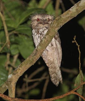 Frogmouth world