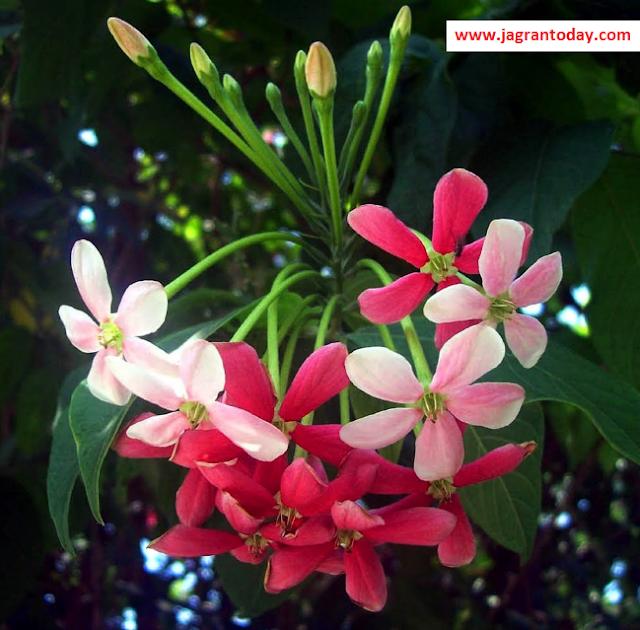 Madhumalti Plant Treats Sugar Diabetes