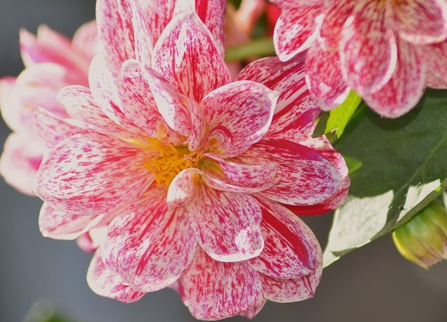 amazing pink dahlia