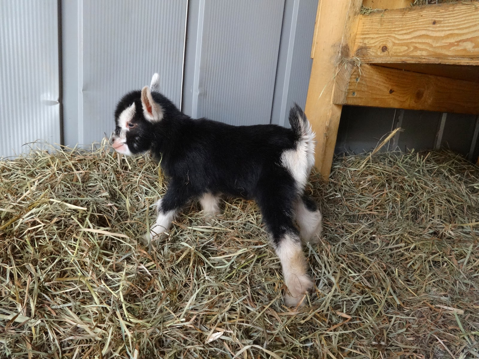Goats For Sale - Nigerian Dwarf Goats | Pittsburgh Pennsylvania
