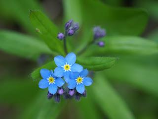 Myosotis bleu - Fleur bleue