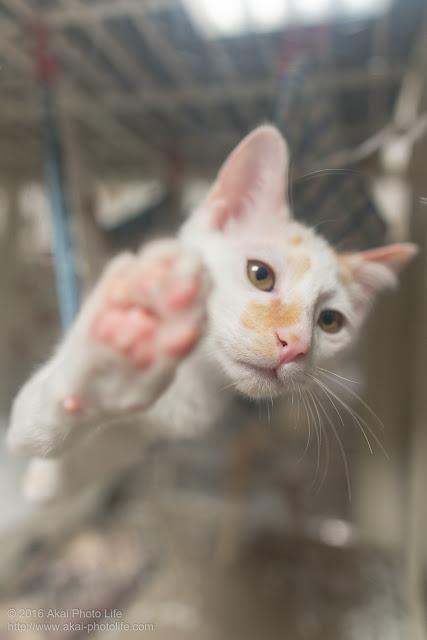 壁ドンしている白猫