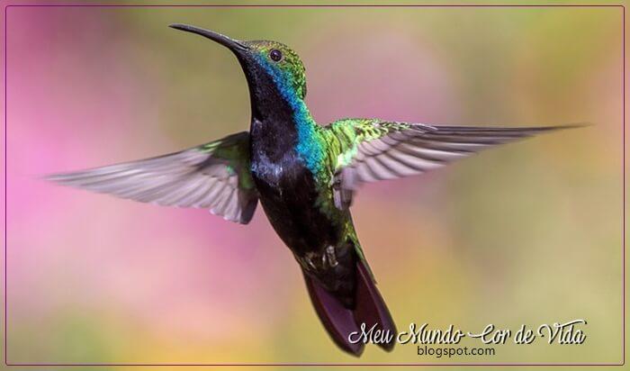beija-flor-voando