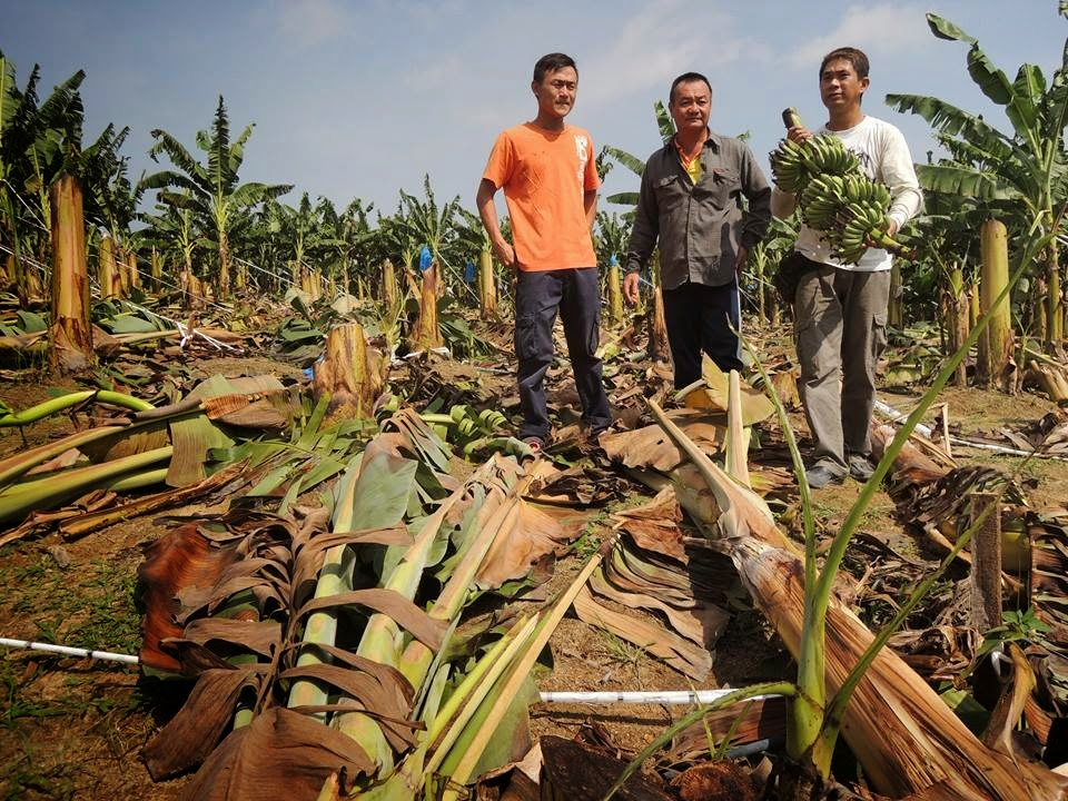 Faqar's blog...: 2,000 pokok pisang musnah dipukul ribut dapat perhatian Kerajaan P.Pinang
