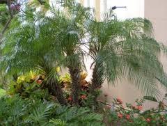 harga jual palm phonix murah
