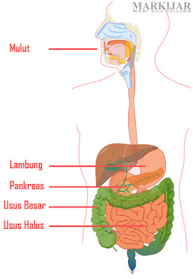 17 Enzim Pencernaan, Macam dan Fungsinya